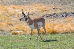 Taking a stand (ChicagoBob46) Tags: pronghornantelope antelope yellowstone yellowstonenationalpark nature wildlife naturethroughthelens coth5 ngc npc