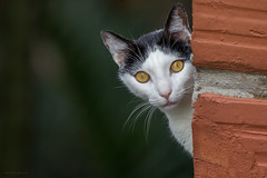 Cat (Wilmer Quiceno) Tags: gato cat felino animal bigotes medellin eos70d mascota