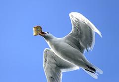 bread catcher bird (axiepics) Tags: lagoon esquimaltlagoon birds seagulls