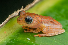 Fiery red bright-eyed frog (Boophis pyrrhus) - DSC_2698 (nickybay) Tags: africa madagascar macro andasibe voimma boophis pyrrhus fiery red brighteyed frog mantellidae