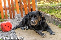 Ausruhen nach dem Toben (Steffi.K.) Tags: rot labradorretriver black garten hund garden cube würfel schwarz domestic animal haustier dog