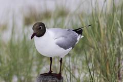 Lachmöwe - black-headed gull ([-ChristiaN-]) Tags: lachmöwe blackheadedgull sea balticsea gull mirecrow mire