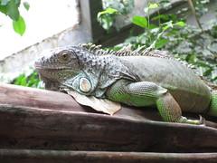 iguana (Pandur55) Tags: animal zoo ixus170