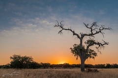 Sunrise (jorgeverdasca) Tags: 5dmk4 canon firstlight nascerdosol orange magichour sunrise magiclight árvore tree natureza nature landscape redondo paisagem portugal alentejo
