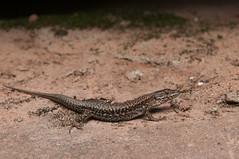 Felsenland-3503 (nikkie_too) Tags: felsenland pfalz palatinate lizard salamander gecko