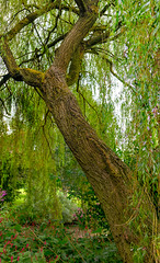 Willow (timnutt) Tags: northamptonshire bark 35f2wr midlands 35mm fujifilm garden leaves tree willow gardens fuji stitched xt2 cotonmanor panorama manor pano