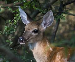 082618155026asmweb (ecwillet) Tags: deer wildwoodparkharrisburgpa nikon nikond500 nikon200500f56 ecwillet ericwillet