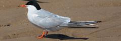 Common Tern (Lanius Excubitor) Tags: common tern nikon seabird sand