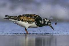 2I1A1326a (lfalterbauer) Tags: arenariainterpres ruddyturnstone nature wildlife photographer ocean sand beach canon canon7dmarkii bokeh clam shell cornell avian ornithology birdwatcher dslr digital lightroom adobe bird outdoor wave droplets shorebird stoneharbor newjersey