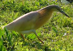 p1350406 (claudiopoli) Tags: animali animalia chordata aves pelecaniformes ardeidae ardeola ralloides sgarzaciuffetto autouploadfilenamep1350406jpg