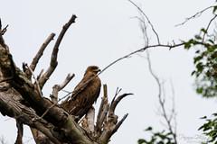 Black Kite (PB2_3201) (Param-Roving-Photog) Tags: black kite bird wildlife tree woods ludhiana birdofprey punjab birdphotograper wildlifephotography birding birdlove overcast majestic