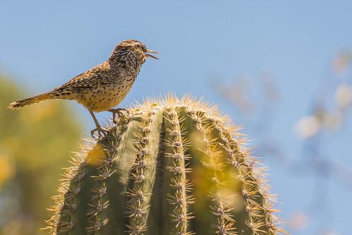 Cactus wren, Saguaro National Park