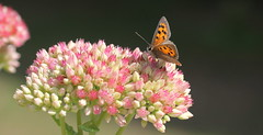 """""""Lycaena phlaeas"""" - small copper (bugman11) Tags: smallcopper butterfly butterflies bug bugs fauna flora flower flowers canon 100mm28lmacro vlinder lycaenaphlaeas nederland thenetherlands nature macro haarlem insect insects animal animals bokeh"""