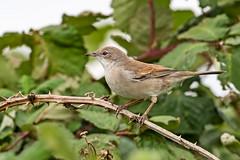 Whitethroat (drbut) Tags: whitethroat sylviacommunis warbler bird birds avian wildlife nature canonef500f4lisusm