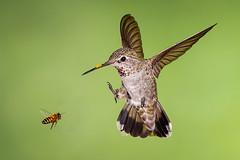 Anna's and the Bee (Eric Gofreed) Tags: annashummbingbird arizona hummingbird multiflashphotography mybackyard sedona villageofoakcreek