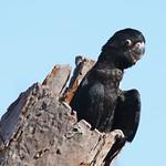 Black Cockatoo chick 2091 thumbnail