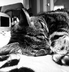 Tigger on her Substitute Mat in Grayscale (sjrankin) Tags: 10september2018 edited panorama closeup animal cat tigger sleep rest mat livingroom kitahiroshima hokkaido japan grayscale