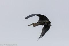 Great Blue Heron (jwfuqua-photography) Tags: peacevalleynaturecenter jerrywfuqua jwfuquaphotography pennsylvania buckscountyparks buckscounty nature