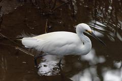 Little Egret (armct) Tags: egret wader currumbincreek mangroves hunting plumage little egretta garzetta channel fish crustacean goldcoast queensland nikon d810 200500mm waterbird filamentous