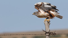 The Getaway (Bill G Moore) Tags: ferruginoushawk raptor wild wildlife fence wire post sky feathers talons canon laramie wyoming