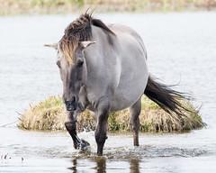 Time For A Paddle (Mel Low) Tags: konik pony poland reydon suffolk wildlife nikon nikond7200 suffolkwildlifetrust