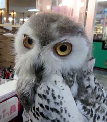 Anna,a baby snowy owl (billnbenj) Tags: barrow cumbria owl snowyowl raptor birdofprey