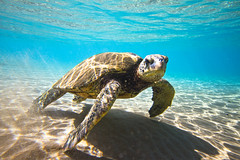 IMG_0919A (Aaron Lynton) Tags: beach lyntonproductions turtle honu maui hawaii luckywelivehawaii greenseaturtle seaturtle turtles refraction sun light water ocean oceanart reflect reflection sand coast