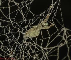 cf. Uloborus sp. - Cribellate Orb Weaver / Hackled-band Orb Weaver (Latreille, 1806) (A Sprinkle of Earth) Tags: macro animalia animals animais arthropoda arthropod arthropods artrópode artrópodes insecta insect insects inseto insetos arachnida arachnid arachnids aracnídeo aracnídeos spider spiders aranha aranhas cribellatespider cribellateorbweaver hackledbandorbweaver humpbackspider araneae opisthothelae entelegynae araneomorphae uloboroidea uloboridae uloborinae uloborus uloborussp sp nature natureza natural naturaleza naturalism naturalismo photonaturalism fotonaturalismo oscarneto asprinkleofearth spiritofphotography yellow amarela amarelo web spiderweb teia teiadearanha wild wildlife vida vidaselvagem biology biologia arachnology aracnologia fauna brasil brazil ceará fortaleza uloborid uloborids 2018 predator predador predatorxprey predadorxpresa