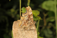 Polygonia c-album (Comma) - Guernsey, (Nick Dean1) Tags: animalia arthropoda arthropod hexapoda hexapod insect insecta lepidoptera nymphalidae comma polygonia polygoniacalbum guernsey channelislands greatbritain