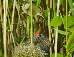 REED WARBLER / CUCKOO ( Explore 21.08.2018 ) (tony.cox27) Tags: reed warbler cuckoo