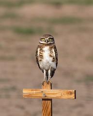 Young Burrowing Owlet (dan.weisz) Tags: marana owl burrowingowl birdofprey bird raptor
