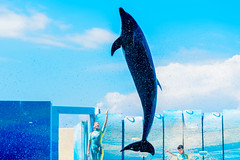 At the Dolphins and Sea Lions Show of Enoshima Aquarium, Fujisawa : イルカとアシカのショー(新江ノ島水族館) (Dakiny) Tags: 2018 summer august japan kanagawa fijisawa shonan shonancoast enoshima kataseenoshima park aquarium enoshimaaquarium city street beach outdoor show animalshow creature animal mammal seaanimal marineanimal dolphin people portrait woman girl bokeh nikon d750 sigma apo 70200mm f28 ex hsm apo70200mmf28dexhsm sigmaapo70200mmf28dexhsm