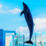 At the Dolphins and Sea Lions Show of Enoshima Aquarium, Fujisawa : イルカとアシカのショー(新江ノ島水族館) thumbnail
