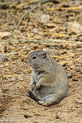Ground Squirel (leon_roland) Tags: grizzlywolfdiscoverycenter groundsquirel westyellowstone yellowstone montana unitedstates
