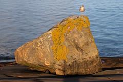 At sunrise (Ib Aarmo) Tags: seagull gull rock sunrise dawn light sea water shore rocky nature outdoor