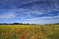 True colors (Nicky@Photography) Tags: nature fleur coquelicot moutardenoire ciel nuage laflotteenré îlederé charentemaritime france