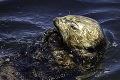 Sea Otter (Blazing Star 78613) Tags: seaotter edwardfrickettsstatemarineconservationarea montereybaycalifornia montereybay california californiacoast west c westcoast