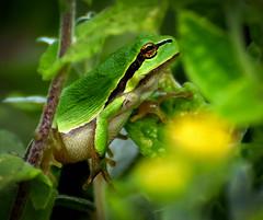 Froggy (boomkikker) (moniquedoon) Tags: frog kikker amfibie nature green summer cute funny animal amphibians