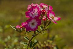 Flowers. (ost_jean) Tags: rose roos mechelen ostjean nikon d5300 tamron sp 90mm f28 vrijbroekpark