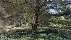 Lodgepole Pine...Pinus Contorta. North America. (standhisround) Tags: trees tree nature treemendoustuesday htmt pinetree pine lodgepolepine royalbotanicalgardens rbg kewgardens kew london namerica pinuscontorta gardens garden
