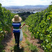 Wine grape sampling at Laurel Bank Vineyard, Tasmania