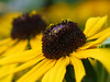 Susan's pair of shiners ... 😱😱😱 (☜✿☞ Bo ☜✿☞) Tags: rudbeckiafulgidavarsullivantiigoldsturm coneflowergoldsrtum echinaceayellowstorm blackeyedsusan flower plant garden fleur flora fauna dof outdoor outside yard backyard flowers blur canong16 powershot macro bokeh closeup summer vacation day summer2018 july august home bright nature floral natur england britain uk europe european me depthoffield camera natural country 7dwf national smile fun naturephotography new plants morning view pretty style sunshine naturaleza colourful pov auto ciel pair colour yellow green colours black leaves leaf autumn sommer friends flickr british cielo beauty