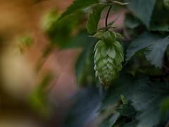 The Gambrinus Blues (BeMo52) Tags: beer bier climber flora fruit garten hop hopfen kletterpflanze leaves macro makro natur nature pentacon50mmf18 roof