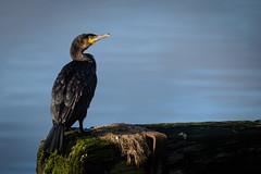 Cormorant (redape99_) Tags: nikon bird birdlife coast cork ireland nativespecies nature outdoors sea telephoto water wildlife