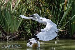Little egret (Egretta garzetta)-8337 (George Vittman) Tags: bird egret flight pond marsh water nikonpassion wildlifephotography jav61photography jav61 ngc fantasticnature