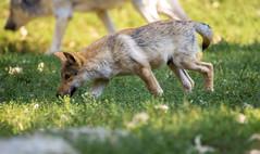 Wolf Cub (Andriy Golovnya (redscorp)) Tags: wolf cub wolfcub wolfjunge bad mergentheim wildpark badmergentheim badmergentheimwildpark