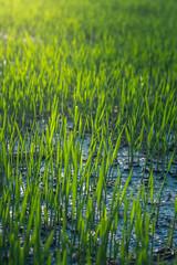 Green Rice plant (hr.sohag007) Tags: creativephotoculturesohag rice green blue field sun golden glow grass light