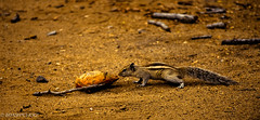 Sq-2 (BARUN DASH) Tags: squirrel animal wild small cute pet adorable lovely beautiful good hungry cool food search tiny brown sciuridae rodent mini nikon d3400 sublime naughty open morning dawn soil forest jungle chipmunk