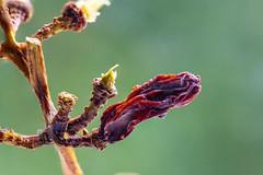 V064_MPC 3139 (Paulo Villa) Tags: plant grape nature closeup botanical