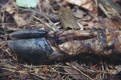 È passato il bracconiere (Silvia Kuro) Tags: bracconiere hunt roe deer capriolo animal death dead wood woods remains resti bosco forest vigezzo toceno caccia poacher illegal hunter